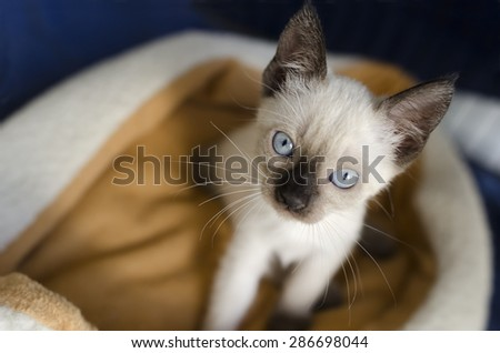 Siamese kitten is looking up with blue eyes curiosity. - stock photo
