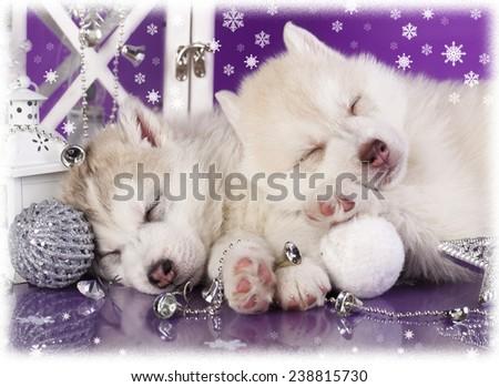 Siberian Husky christmas puppy - stock photo