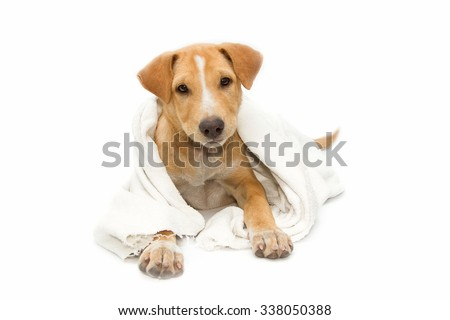 sick dog under a blanket, isolated on white - stock photo