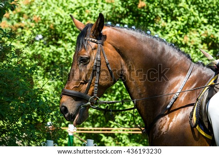 Side view portrait of a bay dressage horse during training outdoors