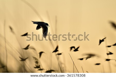 Silhouette of Black-headed Gull (Larus ridibundus) in flight in sunset sky  - stock photo