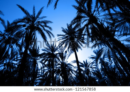 Silhouette of dates palm forest. Sunset with palm date trees in the largest oasis of Tozeur in Tunisia - stock photo