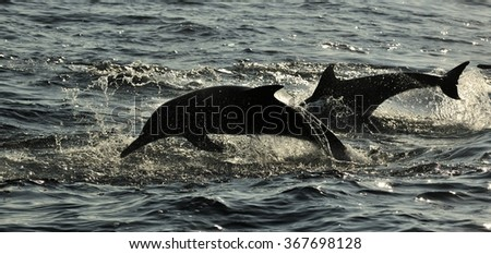 Silhouette of Dolphins, swimming in the ocean  and hunting for fish. The jumping dolphins comes up from water.The Long-beaked common dolphin (scientific name: Delphinus capensis)  in atlantic ocean - stock photo