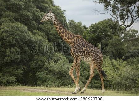 Single Masai Giraffe   - stock photo