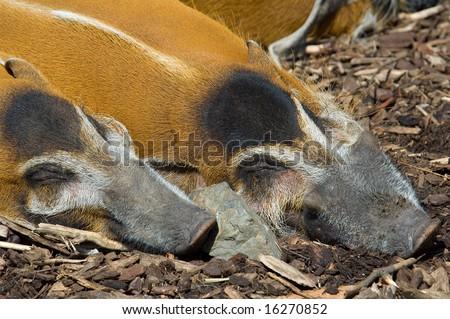 2 sleeping pigs - stock photo