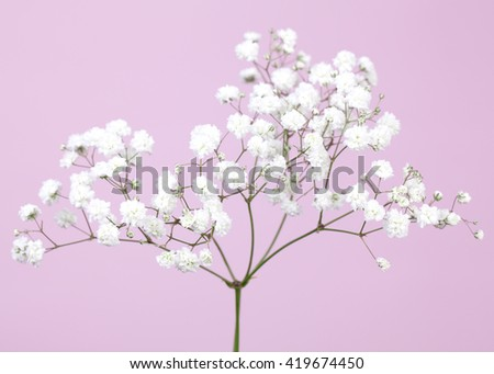 Small baby's-breath flowers (gypsophila)  on a soft lilac color background  - stock photo