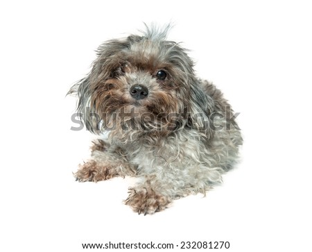 small dog on a white background