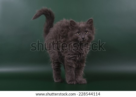 Small Siberian kitten on green background.Cat stand.The cat stretches. - stock photo