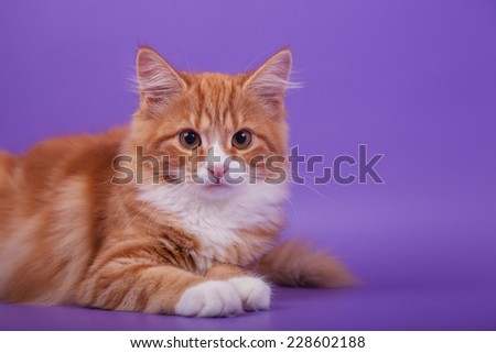 Small Siberian kitten on lilac violet background. Cat lie with.
