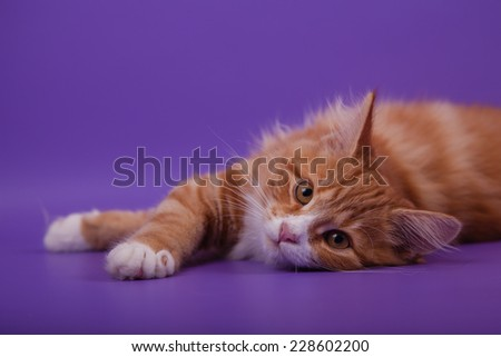 Small Siberian kitten on lilac violet background. Cat lie with. - stock photo