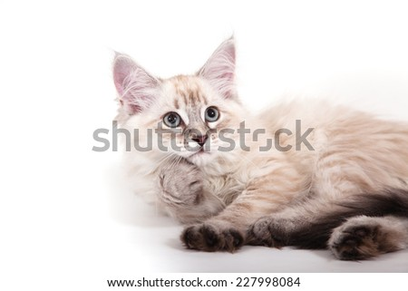 Small Siberian Neva Masquerade kitten on white background. Cat lie with.