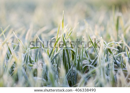 small sprouts of wheat, photographed after frost at dawn, a small depth of field - stock photo