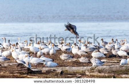 Snow Goose and Blue Geese,  Vancouver BC canada