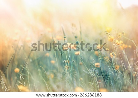 Soft focus on illuminated yellow flowers with sunbeams  in spring - stock photo