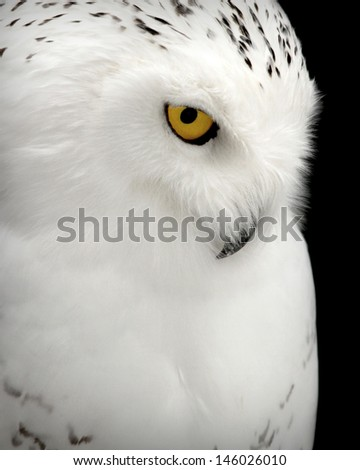 """Solitude"" Portrait of a Snowy Owl - stock photo"