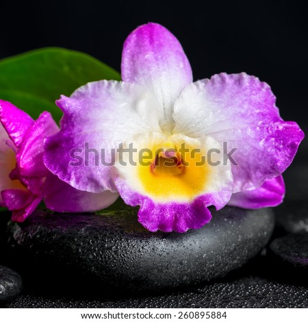 spa still life of purple orchid dendrobium and green leaf Calla lily with drops on black zen stones, closeup   - stock photo