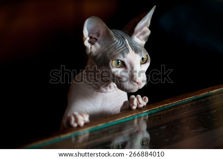 Sphynx cat reflected on glass table. Black background