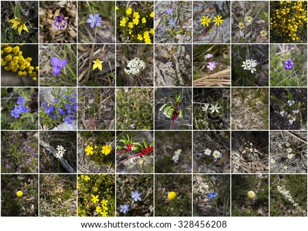 Splendid array of wildflowers growing in spring in remnant bushland  in Manea Park , Bunbury, Western Australia including milkmaids, kangaroo paws, enamel orchids, boronia , wattle, and everlastings. - stock photo