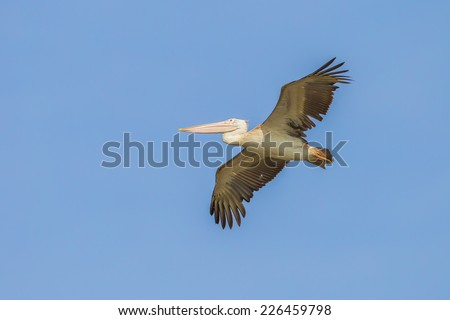 Spot-billed pelican(Pelecanus philippensis) are flying in nature in Thailand
