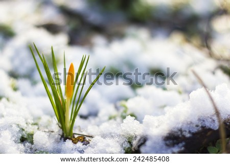 Spring flowers covered in snow. - stock photo