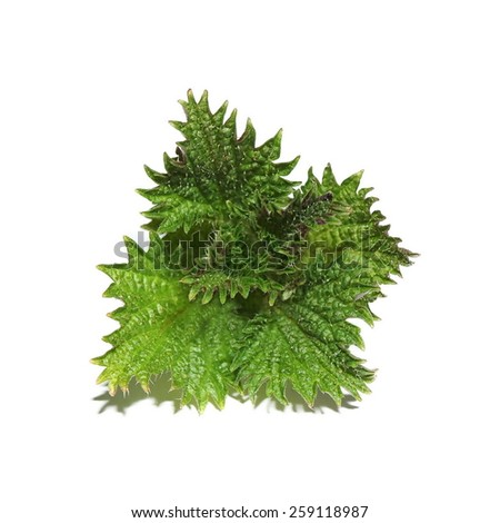 spring nettle leaves isolated on white background