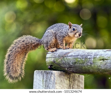 Squirrel on a Post - stock photo