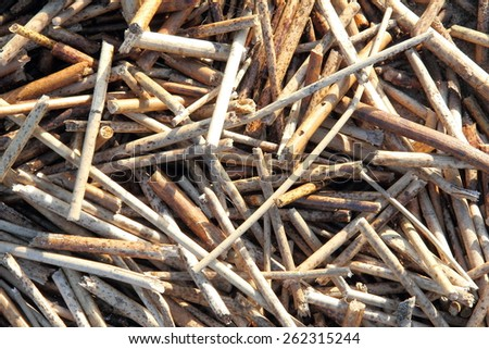 stalks of dried reeds, background