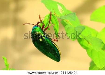 Sternocera aequisignata  - stock photo