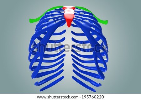 Sternum with ribs - stock photo