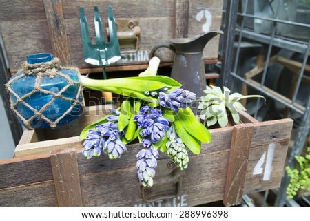 still life with Hyacinth in vintage cabinet wood at rustic interior at houseplant