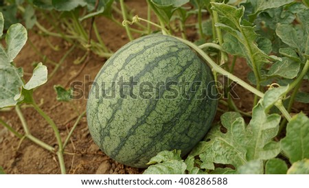 striped watermelon in garden focus on fruit                               - stock photo