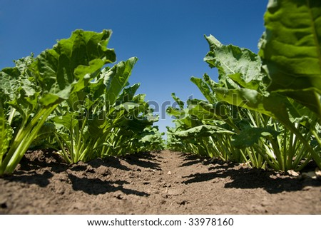 Sugar beet leaves - stock photo