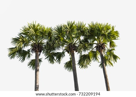 3 Sugar Palm tree isolated on white background