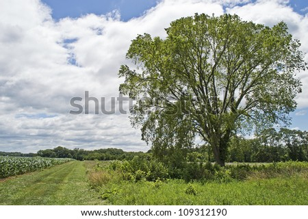 """Summer Tree and Field"" A countryside view of rural New Jersey with cornfield and a prominent tree. - stock photo"
