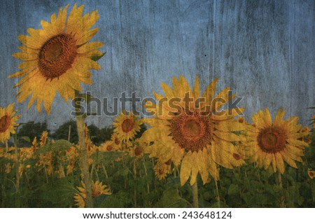 """sunflower field in Thailand"" The cement painting concept - stock photo"