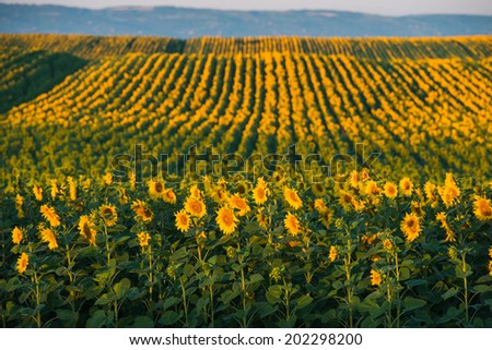 sunflowers at field in sunset