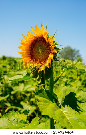 sunflowers in the field with bright blue sky - stock photo