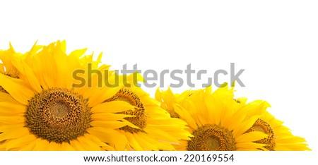 sunflowers. Isolated on white background. - stock photo