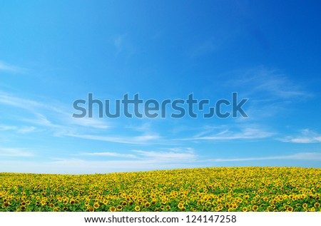 sunflowers on blue sky - stock photo