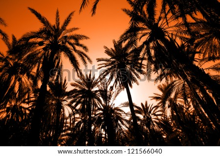 Sunset in dates palm forest. Sunset with palm date trees in the largest oasis of Tozeur in Tunisia - stock photo