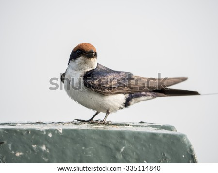 swallow  - stock photo