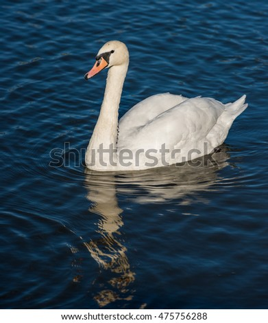 Swan at the city pond