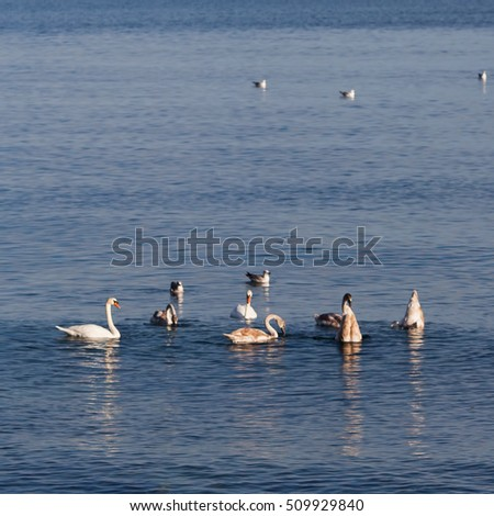 Swans on the Black Sea in Bulgaria, Varna.