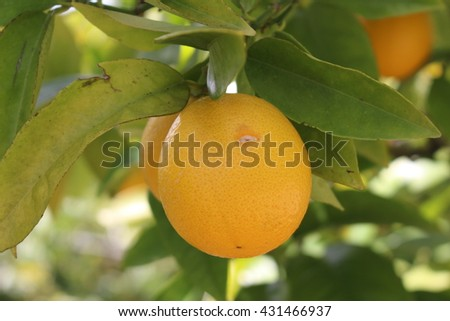 """Sweet Orange"" on the tree in St. Gallen, Switzerland. Citrus Sinensis  is a hybrid of Citrus Maxima (Pomelo) and Citrus Reticulata (Mandarin)."
