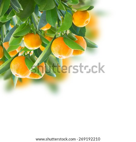 tangerine tree branches  with green leaves  on white background - stock photo