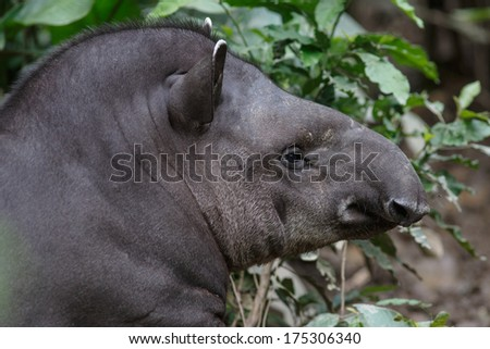 Tapir (Tapirus bairdii) is a large browsing mammal, live in the amazon forest. - stock photo