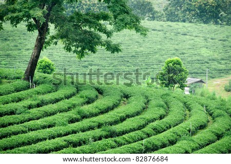 tea in plantation north of thailand - stock photo