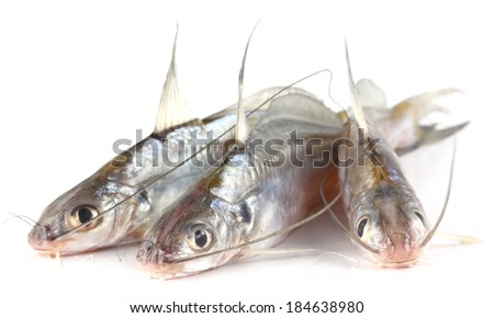 Tengra fish of Bangladesh over white background - stock photo
