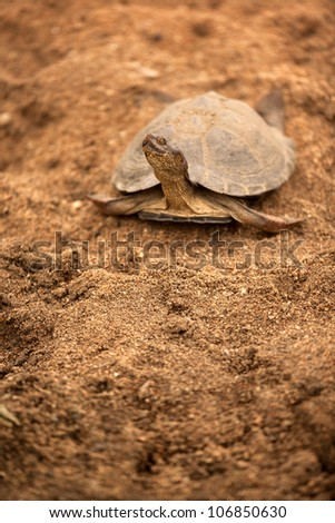 terapin or african turtle on sand - stock photo