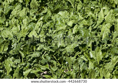 the agricultural field on which grows green beets for sugar production - stock photo
